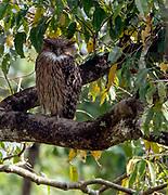 Brown Fish Owl (Ketupa zeylonensis) from Kaziranga National Park, Assam, north-east India.