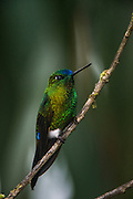 Sapphire-vented puffleg (Eriocnemis luciani)<br /> Yanacocha Nature Reserve<br /> on slopes of Pichincha Volcano<br /> Andes<br /> ECUADOR, South America<br /> Range: Subtropical or tropical moist montane forests of Colombia, Ecuador, Peru & Venequela