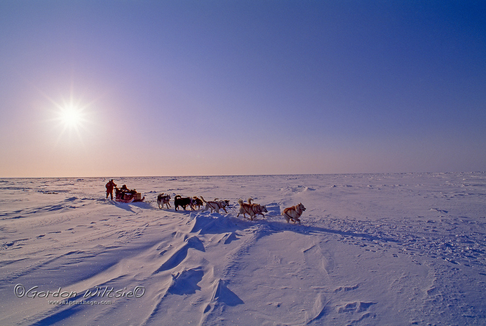 Arctic Ocean, Nunavut, Canada. A dog musher and his team run across the frozen ocean near Gjoa Haven.color image,photography,outdoors,day,one person,front view,caucasian appearance,one mid adult man only,full length,medium group of animals,sled dogs,sled,dogsleds,sledding,huskies,running,running,pulling,working animals,ice,arctic ocean,nunavut,canada,gjoa haven,mid adult,adventure,musher,sun,sky,frozen,cold,copy space,team,teamwork,sunlight,shadows,Paul Pregont
