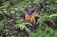 Taiwan Yellow-throated marten, Martes flavigula, Walami cabin, Yushan National Park, Taiwan. Endemic subspecies.