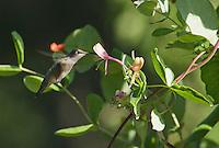 Anna's hummingbird, Calypte anna, at honeysuckle flowers, Lonicera sp. Santa Cruz Mountains, California