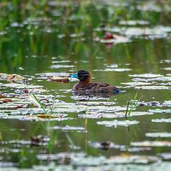 """""""Marreca-de-bico-roxo (Nomonyx dominicus) fotografado em Burarama, distrito do município de Cachoeiro de Itapemirim, no Espírito Santo -  Sudeste do Brasil. Bioma Mata Atlântica. Registro feito em 2018.<br /> ⠀<br /> ⠀<br /> <br /> <br /> ENGLISH: Masked Duck photographed in Burarama, a district of the Cachoeiro de Itapemirim County, in Espírito Santo - Southeast of Brazil. Atlantic Forest Biome. Picture made in 2018."""""""