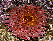 """Ripples on the water surface distorts this view of an orange and red sea anemone at the Seattle Aquarium, Washington. Published in """"Light Travel: Photography on the Go"""" book by Tom Dempsey 2009, 2010. At the Virginia Mason Medical Center, Seattle, the Art Committee selected this 17x22 inch print for display in the Jones Pavilion Level 11 Orthopedic Inpatient unit art collection, 2011."""