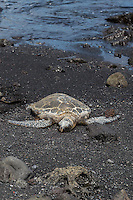 Green turtles are found throughout the world, usually found in tropical waters. The Hawaiian green turtle is distinct from other green sea turtles  This species was in a steep decline since the 70s because of harvesting of turtles and eggs but the population has grown over the past thirty years after protection began.