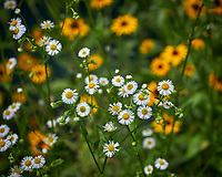 Daisy and Plains Coreopsis. Image taken with a Leica CL camera and 60 mm f/2.8 lens