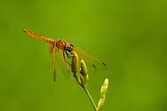 An orange dragonfly in the Lake Gardens, Kuala Lumpur, Malaysia