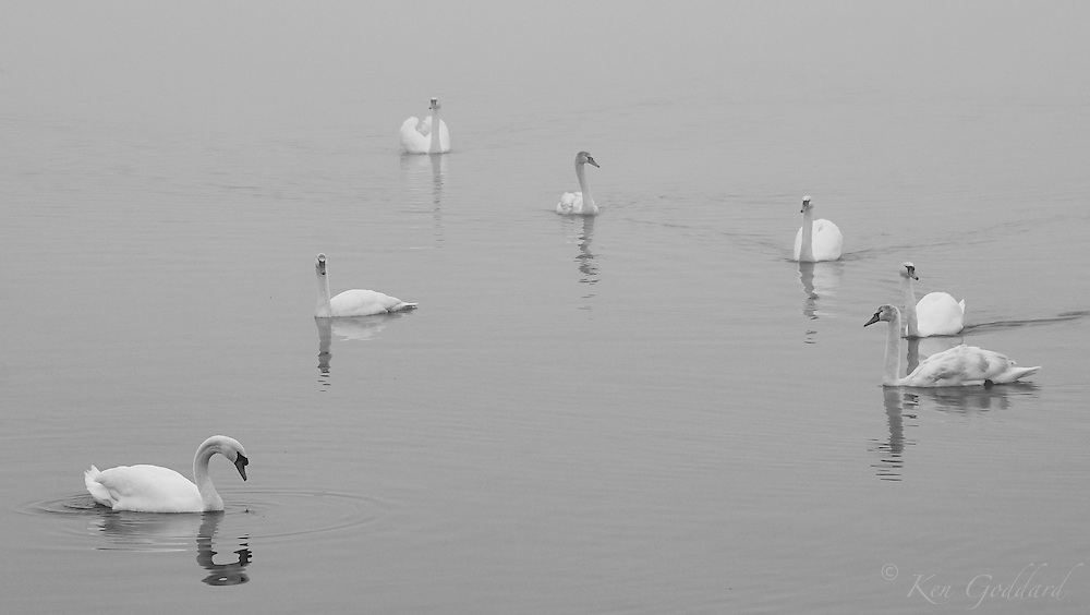 Seven swans on a lake in the fog