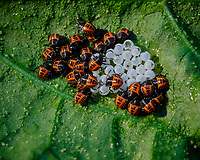 Stinkbug Hatchlings.Image taken with a Fuji X-T3 camera and 80 mm f/2.8 OIS macro lens (ISO 400, 80 mm, f/11, 1/120 sec).