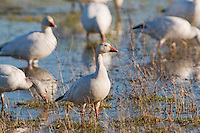 Snow Geese (Chen caerulescens), migrating north for the summerbreeding season, stop over to feed in the salt marshes of Cape May, NJ. The waterfowl breed in northern Canada and Siberia and spend most of their winter further south in the southern USA and beyond.