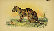 fishing cat (Prionailurus viverrinus Here as Felis viverrina) is a medium-sized wild cat of South and Southeast Asia. From the book ' A handbook to the carnivora : part 1 : cats, civets, and mongooses ' by Richard Lydekker, 1849-1915 Published in 1896 in London by E. Lloyd