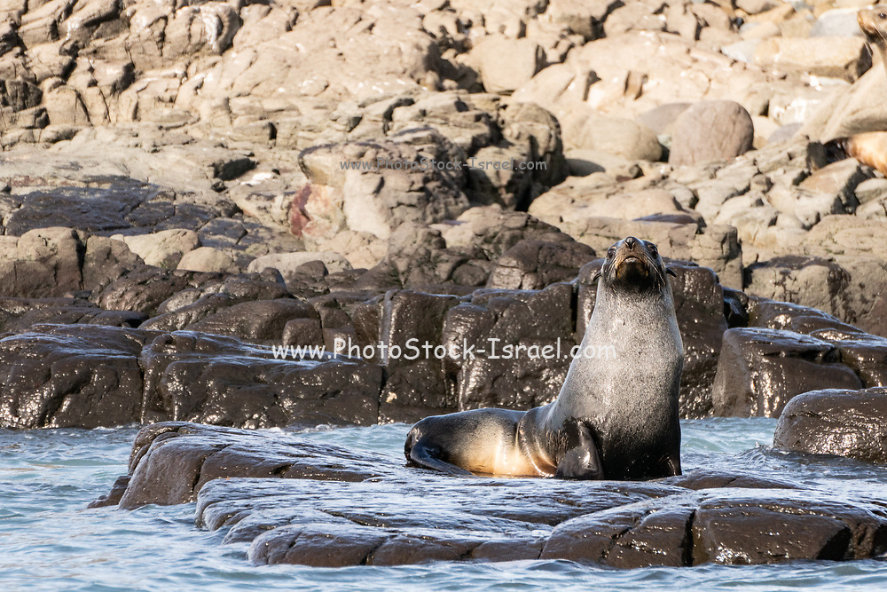 Antarctic fur seal (Arctocephalus gazella) on land mass. The female and juveniles are much smaller than the large males, and have a grey pelt with a lighter underside. Males reach a length of up to 2 metres and a weight of 120 kilograms. This seal ranges throughout the Southern Ocean that surrounds Antarctica, using its flippers to swim and feeding mainly on krill in shallow waters at night. Photographed in Antarctica in February