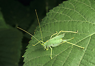Oak Bush Cricket - Meconema thallassinum