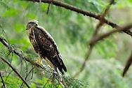 Common buzzard, Buteo buteo, North Velebit National Park,  Velebit Nature Park, Rewilding Europe rewilding area, Velebit  mountains, Croatia