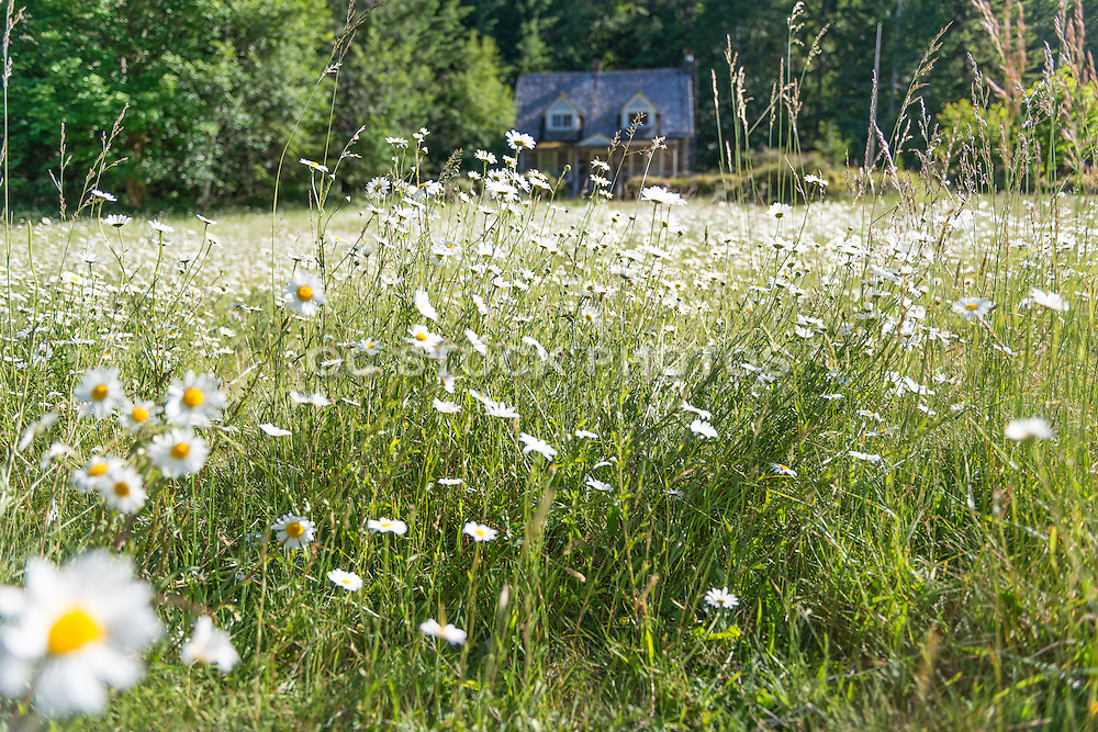 Spring Flowers in a Grassy Meadow with Abandoned House in Background