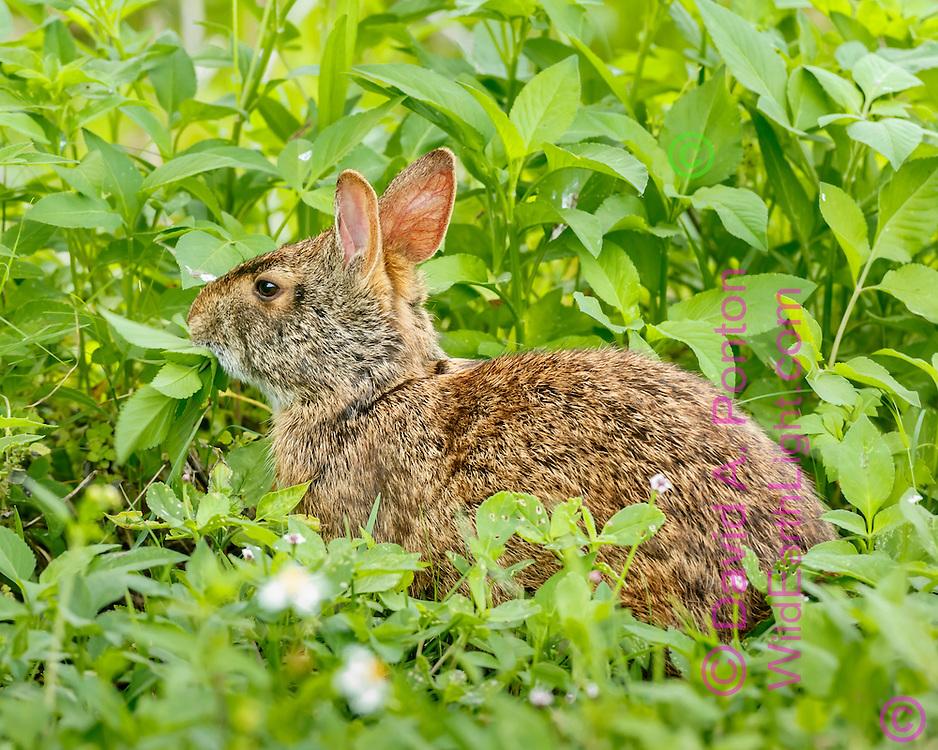Marsh rabbit feeding in lush green vegetation of a Florida wetland, © David A. Ponton