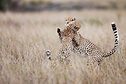 Two of three male cheetah brothers (Acinonyx jubatus) playing in the grass in the early evening, Masai Mara, Kenya,Africa