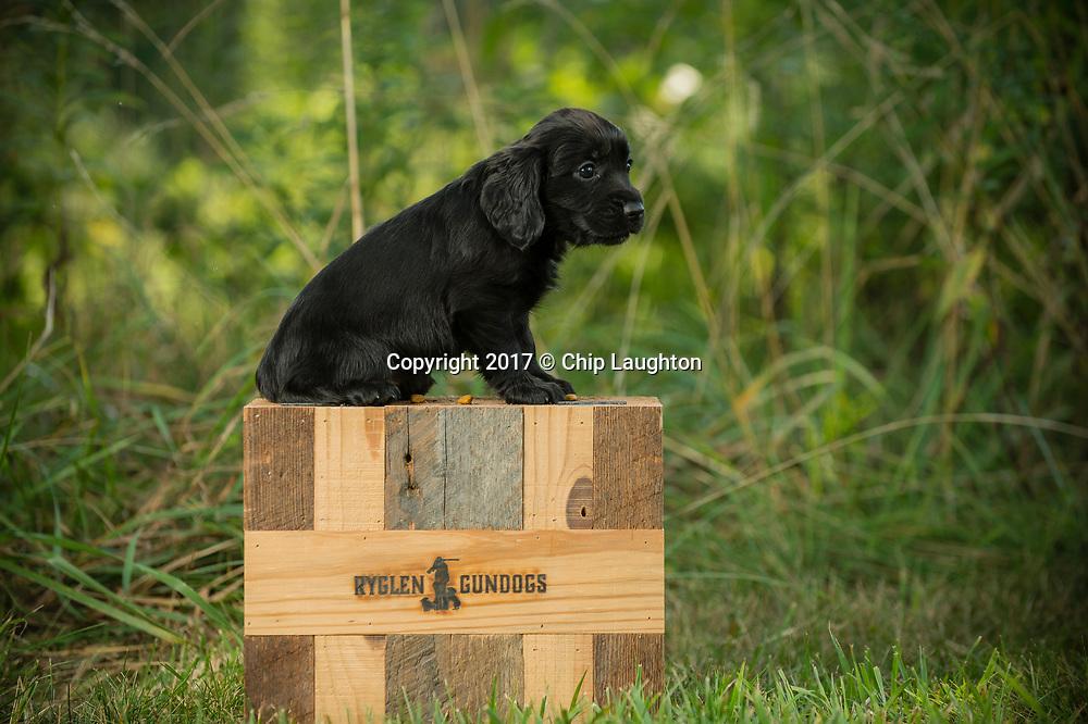 english field cocker stock photo image