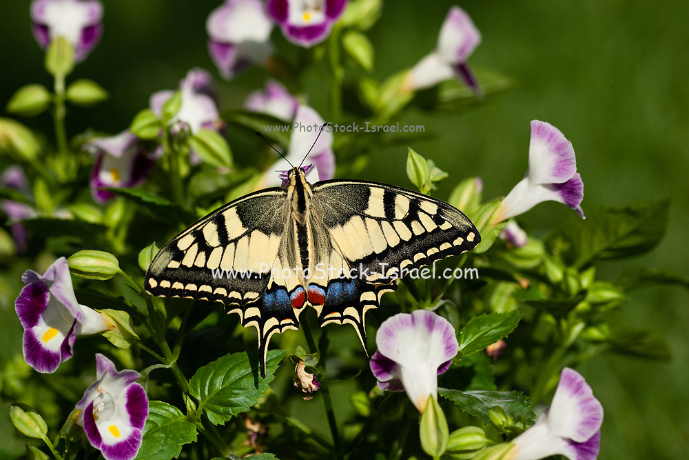 Old World Swallowtail (Papilio machaon) AKA Common yellow swallowtail Butterfly on a flower Photographed in Israel, Summer June. This species, is native to Europe and Asia.