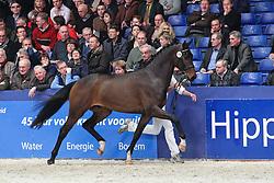 475 - Chagall<br /> KWPN Hengstenkeuring 's Hertogenbosch 2010<br /> © Dirk Caremans
