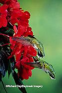 01162-05604 Ruby-throated Hummingbird (Archilochus colubris) females on Impatiens (New Guinea Hybrid) Shelby Co.  IL