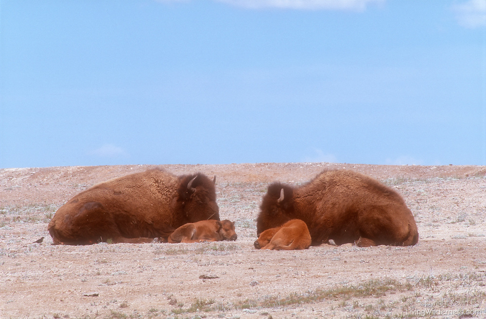 Two American bison (Bison bison) rest with their calves on an open field in Yellowstone National Park, Wyoming. American bison are also commonly referred to as buffalo.