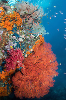 Colorful Soft Corals and Sea Fans<br /> <br /> Shot in Indonesia