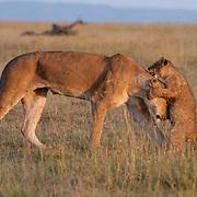 African Lion (Panthera leo) Mother playing with her cub. Masai Mara National Park. Kenya. Africa.