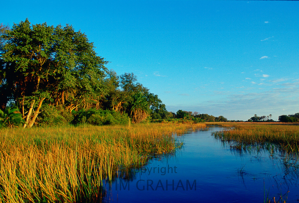 Reed beds  in the Okavango Delta in Botswana, Africa