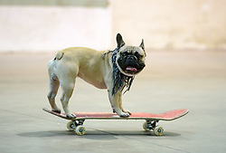 © Licensed to London News Pictures.  06/07/2017; Bath & West Showground, Somerset, UK. NASS, National Action Sports Show festival. EROC THE DOG is a French Bulldog from London that loves skateboarding. The world's leading BMX and skate athletes will compete in the West Country this weekend as the IBMXFF World Championships and Europe's leading skate contest return to NASS Festival. The annual action sport and music festival, which takes place on the 6th – 9th July near Bristol will host the BMX World Championships for the second year running, after the games returned to the UK for the first time in 28 years last year. The event will be one of the largest global BMX freestyle and skate events of the year with more than 450 professional and amateur athletes from over 40 countries heading to the festival. Earlier this month it was announced that BMX Freestyle has been added to the programme of the Tokyo 2020 Olympic Games highlighting the growth and incredible standard of this sport. Olympics hopefuls and reigning BMX Champions Logan Martin, Vince Byron and Nick Bruce will all return to defend their titles across Pro Park, Vert and Dirt. The competition will be hosted by BMX's greatest legend, Mat Hoffman. Picture credit : Simon Chapman/LNP
