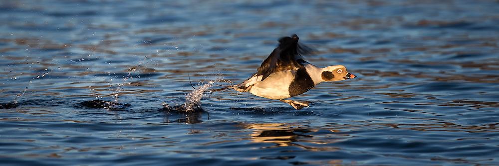 Escaping Long Tailed Duck exposed with 400 mm. This is a small duck with total lengd around 39-47 cm, and wingspan 65-82 cm. Weight around 600-1000 gram.   Havelle i flukt tatt med 400 mm brennvidde. Dette er en liten and med total lengde mellom 39-47 cm, og vingespenn på 65-82 cm. Vekten ligger på 600-1000 gram.