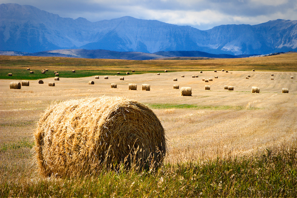A wheat field near the Rocky Mountains during harvest time in southern Alberta, Canada.