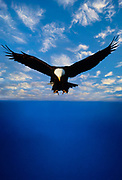 Native-Cordova-Alaska-travel-photographer-Randy-Wells, Image of a bald eagle hunting over the Kenai Peninsula, Alaska, the bald eagle is a bird of prey and national bird and symbol of the United States of America