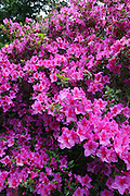 Pink Rhododendron in Wellington, New Zealand