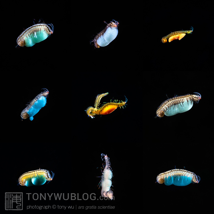 Composite image of various Syllidae polychaete worms that gathered around a light at night in order to prey upon smaller animals that had done the same. These worms were less than 1cm in size. All seemed to be carrying eggs. The middle image is of three entangled individuals.