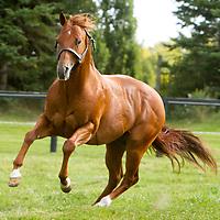 SUGARMAN PERRY - Quarter Horse Stallion