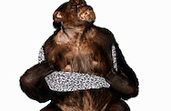 Deutschland, DEU, Krefeld, 2004: Projekt ueber die biologischen Wurzeln der Mode. Die Shootings hierfuer wurden mit Grossen Menschenaffen, die dem Menschen am naechsten sind, im Krefelder Zoo gemacht. Die Tiere waren weder zahm noch trainiert. Die Kleidungsstuecke wurden in die Gehege geworfen und was immer die Tiere damit anstellten, taten sie aus sich selbst heraus. Ein Eingreifen oder gar eine Regie war unmoeglich. Da das Verhalten der Affen im Mittelpunkt stand, wurden die Hintergruende von den Originalfotografien entfernt. Schimpansen-Weibchen Gombe mit einem Rock von XX by MEXX. | Germany, DEU, Krefeld, 2004: Project to look at the basics and roots of fashion. The shootings took place in the Zoo Krefeld with three species of Great Apes who are the nearest to us. The animals were neither tamed nor trained. Whatever the animals did, they did on their own. Any intervention or directing was impossible. To set the focus on the behaviour of the animals itself we removed the background from the original photographs. Chimpanzee (Pan troglodytes) female Gombe with skirt from XX by MEXX. |