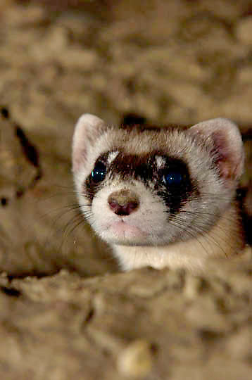 Black-footed Ferret (Mustela nigripes) Sub Adult near burrow at night. Only wild ferret in existence and the rarest endangered North American Mammal. Charles M. Russell National Wildlife Refuge. Montana. Summer.
