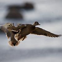 A mallard in flight.