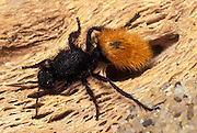 A female red-velvet ant (Dasymutilla magnifica). Photographed in Anza Borrego State Park, California.
