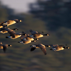 Durham, NH.  Canada Geese, Branta canadensis, flying at Great Bay.  Adams Point Wildlife Management Area.