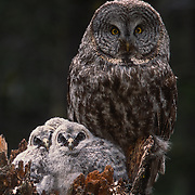 Adult great gray owl and chicks in nest on top of broken tree trunk in Montana.