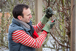 Pruning a grapevine in winter with secateurs. Vitis vinifera