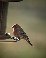 House Finch. Image taken with a Fuji X-H1 camera and 200 mm f/2 lens with 1.4x teleconverter