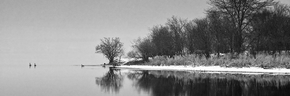 Geese paddle away from Duck Island on the Fox River in Batavia, IL
