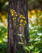 Tall silvercrown (Cacaliopsis nardosmia) and ponderosa pine (Pinus ponderosa), June, Okanogan National Forest, Washington, USA