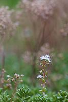 Flowering White Stonecrop  (Sedum album). Pont-du-Chateau, Auvergne, France.