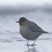 American Dipper (Cinclus mexicanus), also know as the water ouzel, feeding along a small river in Yellowstone National Park in temperatures of -32 Farenheit. Wyoming