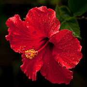 Red hibiscus flower in Hawaii.