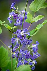 Clematis heracleifolia 'Cassandra' AGM syn.Clematis tubulosa 'Cassandra' - Tube clematis