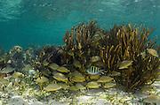 Bluestriped Grunt (Haemulon sciurus) & Sergeant Major (Abudefduf saxatilis)<br /> Hol Chan Marine Reserve<br /> near Ambergris Caye and Caye Caulker<br /> Belize<br /> Central America